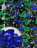 Lonlier Semillas de Fresas Ecologicas Bonsai Azules 100...