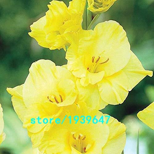 Bloom Green Co. Vente chaude Graines Jaune glaïeul Jardin et Patio Jardin Fleurs en pot Gladiolus Graines de fleurs vivaces 100PCS: 1