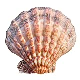 TL TONGLING Conchas 12-15cm León Natural Claw Fallop Shell Shell Fantasma de Caviar Bandeja casero Boda Restaurante Aquarium Decor