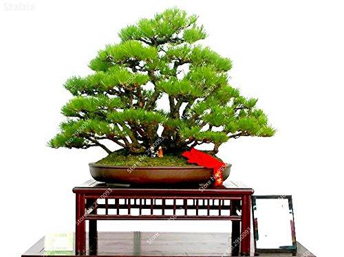 60pcs / bolsa enano Pino Semilla exótico Pinus Perenne Planta ornamental en maceta de Bonsai Jardín Para Tiesto plantadores
