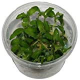 Floscopa scandens - In-Vitro