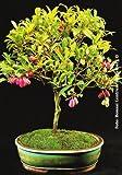 TROPICA - Mirto Greco (Syzygium paniculatum) - 8 Semi- Bonsai