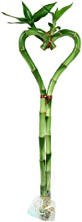 Heart Lucky Bamboo Stalk