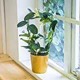 Easy Plants 1 Luxury Scented Madagascar Jasmine Flower House Plant @ Gold Ceramic Pot Silver Top Dressing