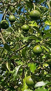 Photography Poster - Reed Avocado, Round, Tree, Avocados, 24