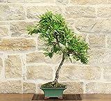 Bonsai Cotoneaster Lacteus (1)