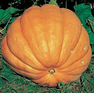 atlantic giant pumpkin seeds uk