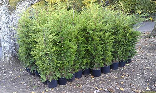 20 genévrier bonsaï Graines de fleurs en pot bureau bonsaï purifient l'air absorbent les gaz nocifs graines Cypress