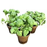 Fall Combo Powerful Antioxidant Assorted 4.5' Live Basil (3 Per Pack), Aromatic and Edible