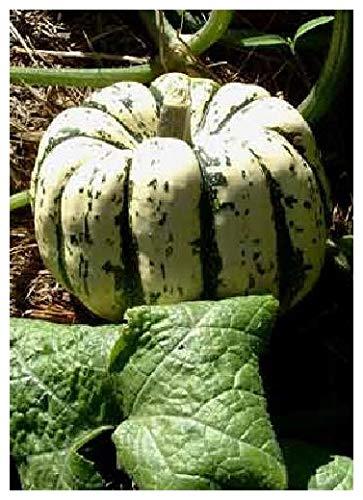 TROPICA - Kürbis - Sweet Dumpling (Cucurbita maxima) - 15 Samen