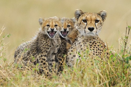 GEPARDEN-FAMILIE 3 D-Postkarte Lentikular-Karte von Geparden in der Serengeti von Edition Colibri (10073)