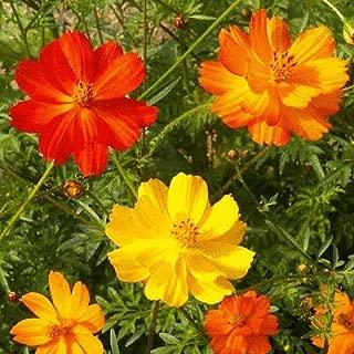 1/4 Lb Bright Lights Mixed Sulphur Cosmos Wildflower Seeds - Everwilde Farms