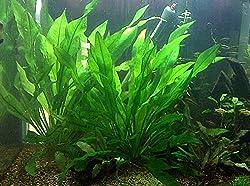 14 Best Fast Growing Aquarium Plants Without Co2 Aqua Goodness