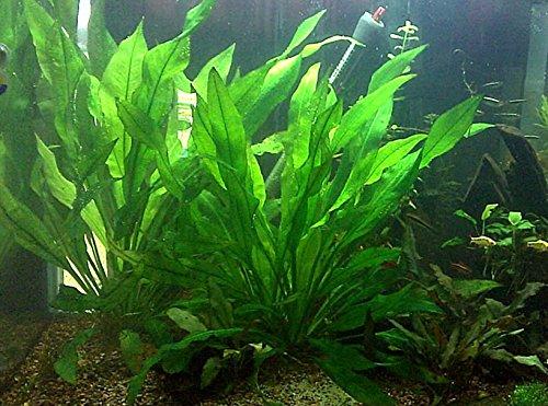 Large Amazon Bleheri Sword 18-24 inches Tall | Live Freshwater Aquatic Plant