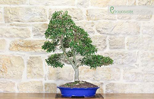 Eugenia bonsai tree (12)