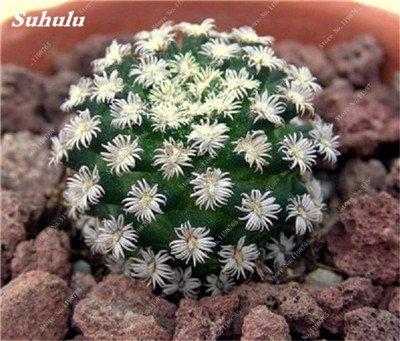 100 Pcs vrai Graines de Cactus mixte, intérieur Mini Cactus, Figuier, Graines Bonsai Fleur, Plante en pot pour jardin So Rare 13
