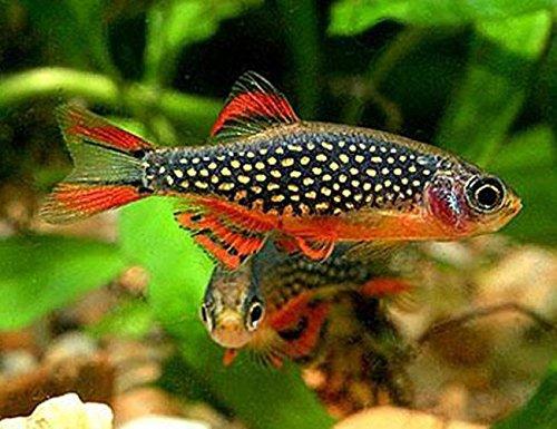 SevenSeaSupply 3 Live Galaxy Rasboras Freshwater Aquarium Fish Live Tropical Fish