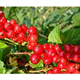 Doubleer Rote Johannisbeere Samen Obst Hof Pflanzen Pflanzen 100 stücke für Hausgarten Töpfe Pflanzen Dekoration
