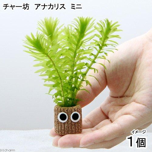 charm(チャーム)『メダカ金魚藻チャー坊アナカリスミニ無農薬』