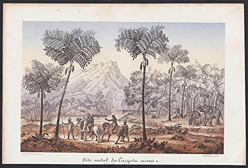 Site natal du Caryota urens - Fischschwanzpalmen Caryota Palm botanical Botanik Botany