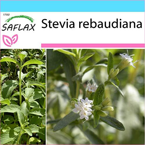 SAFLAX - Set regalo - Hierba dulce - 100 semillas - Con caja regalo/envío, etiqueta para envío, tarjeta de felicitación y sustrato de cultivo y fertilizante - Stevia rebaudiana