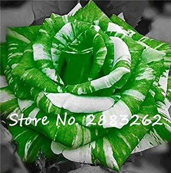 VISTARIC Echte Callalilienzwiebeln, Blumenzwiebeln Bonsai Zantedeschia aethiopica (nicht Calla-Lilien-Samen) Bulbous Wurzel Pflanzentopf für Garten 2 Stück 10