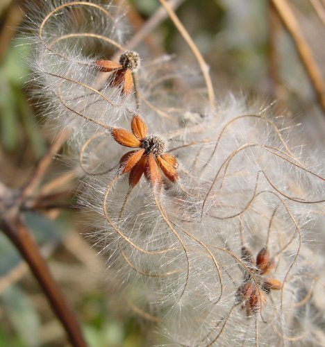 Tree Seeds Online - Clematis Vitalba. Alt Männer Bart. 25 Samen - 10 Packungen