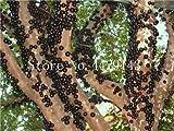 観賞用植物プリニアCauliflora盆栽100個ファミリーフトモモ科ジャボチカバ果樹工場ブラジルのブドウの木:6
