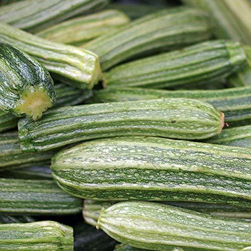 Samen für ca. 10 Pflanzen Romanesco Zucchini – ausgeprägte Rippen, ertragreich