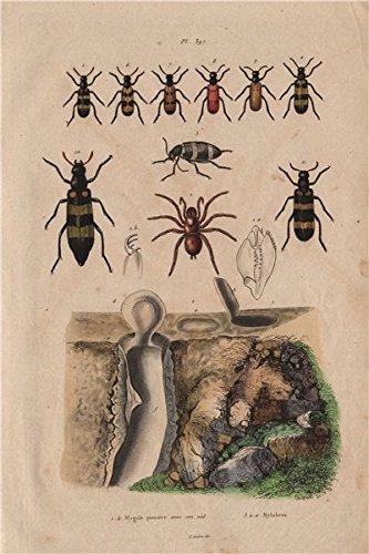 Mygale pionière (Trapdoor spider) avec son nid (its nest). Mylabris beetles - 1833 - old print - antique print - vintage print - Birds art prints