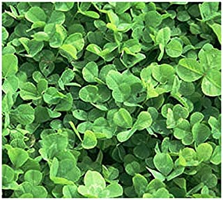 One Ounce: Lawn Replacement - Low Growing Perennial Mini Clover