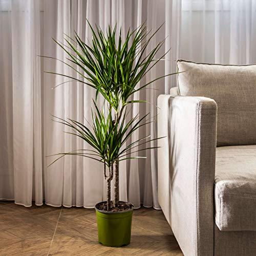 马达加斯加龙树-活的边缘龙- 4英尺高-大美丽的花店质量的房子植物