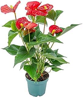 Anthurium Rojo Anturio Planta de Interior Natural 40cm Altura Maceta 14cm