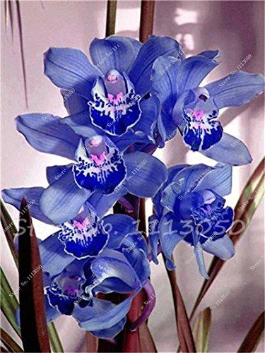 ChinaMarket 100 PCS Cymbidium Seed, arc-en-chinois Cymbidium orchidée bleue Graines de fleurs, Plante en pot