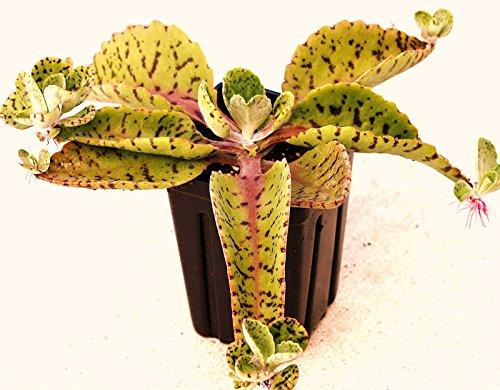 Eselsohren - Kalanchoe Gastonis-Bonnieri Pflanze exotische Sukkulenten Samen -15 SEEDS