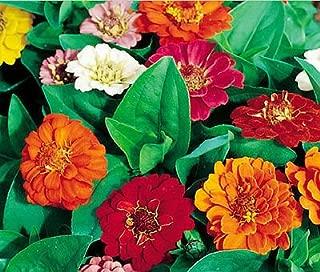 ZINNIA THUMBELINA DWARF MIXED COLORS Zinnia Elegans - 1,100 Bulk Seeds