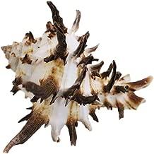 Endive Murex Seashell 3-4
