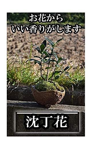 白沈丁花鉢植え