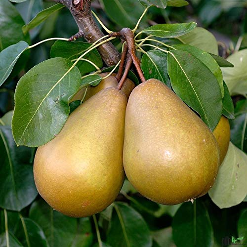 Gellerts Butterbirne Birne Birnenbaum Herbstbirne saftig süß hohe Erträge Busch 120-150 cm