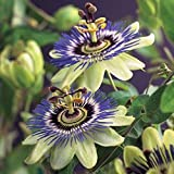 2X Passiflora caerulea | Set of Blue-White Passion Flowers | Climbing Plants | Height 65-75cm | Pot Ø 14cm