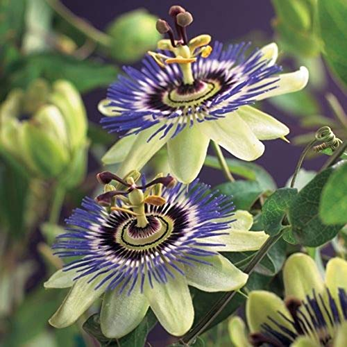 2 Passiflora caerulea | Passionsblume | Gartenpflanzen winterhart | Exotische Pflanzen | Höhe 65-75cm | Topf-Ø 15cm