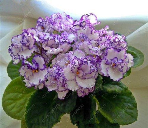 (100pcs Seeds) 100 pcs/Bag African Violet Seeds, Bonsai Flower Seeds for Home Garden Plant Perennial Herb high Budding Garden Flowers Seeds 100