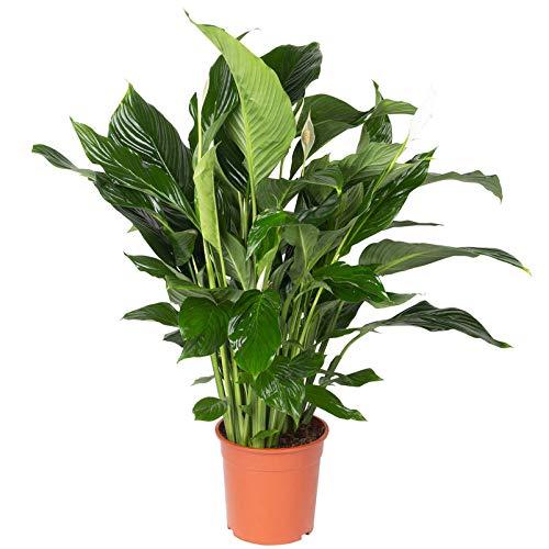 Pflanzen Kölle Einblatt, Spathiphyllum 'Sweet Silvana', Höhe ca. 90 cm