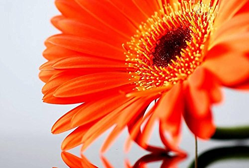 Orange Daisy Flower Art Print Canvas Poster,Home Wall Decor(24x36 inch)
