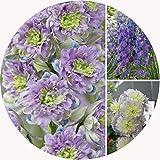 JPD Plants Delphinium Highlander Collection Perennials (6 Jumbo)