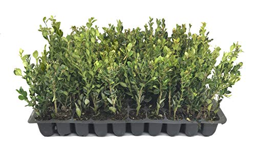 Winter Gem Boxwood - 10 Live Plants - 2' Pot Size - Buxus Microphylla Japonica - Fast Growing Cold Hardy Formal Evergreen Shrub