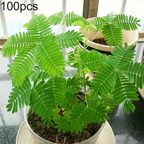 Zhouba Mimosa Samen für Gartenpflanze, 100 Stück, verschiedene Farben, Mimosa Pudica Samen, Garten, Bonsai-Topf, Pflanzen, Home Decor