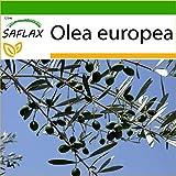 SAFLAX - Olivo - 20 semillas - Con sustrato estéril para cultivo - Olea europea