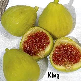King (Desert King) Fig Tree In Soil, Five Gallon