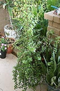 3 Fresh Stem Cutting Portulacaria Afra Plant Succulent Bush Spekboom Fresh